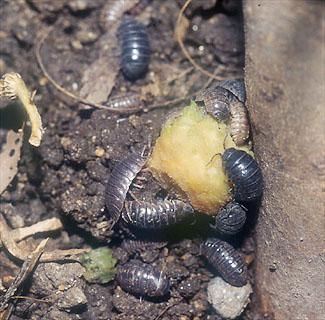 みたい な 虫 ダンゴムシ