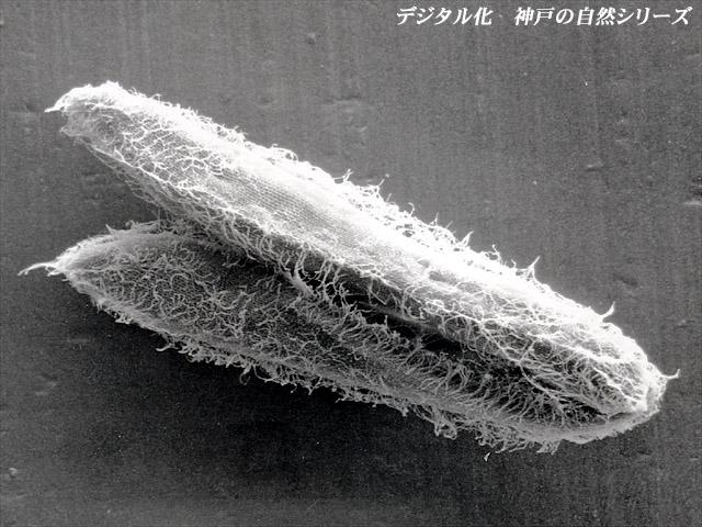 ゾウリムシ 顕微鏡